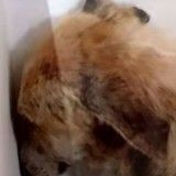 Cette chienne était si bouleversée par son abandon qu'elle passait ses journées la tête contre le mur