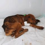 Après 3 semaines entre la vie et la mort, cette chienne a enfin été sauvée : son histoire est bouleversante