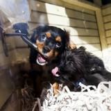 Grâce à une petite chienne, la vente de chiots et chatons seront bientôt interdite dans les animaleries en Angleterre