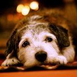 Les animaux domestiques vivent plus vieux