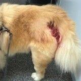 Attention : les chiens ne sont pas non plus épargnés par l'araignée-violon !
