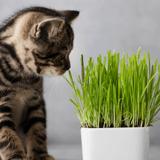 Comment choisir la meilleure herbe à chat ?