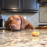 Le chien vs la pomme de terre. Qui sortira vainqueur ? (Vidéo du jour)