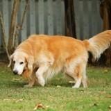 Arthrose du chien : prévention, symptômes et traitement