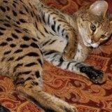 10 races de chats les plus chères du monde