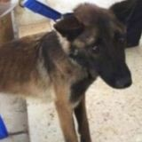 Des chiens de recherche d'explosifs meurent de maltraitance en Jordanie