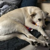 Ce chien accueille tout le monde chez lui de la plus douce des façons