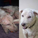8 bouleversantes métamorphoses de chiens abandonnés de tous