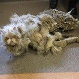 Avant/Après : l'impressionnante métamorphose d'un chat de 9 ans victime de mauvais traitements