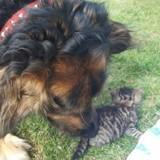La maman du chaton est mourante : tout le pays applaudit la réaction du Berger allemand