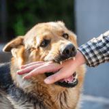 """Morsures chez le chien : """"il n'est pas envisageable de prédire l'agressivité sur le critère d'appartenance à une race"""""""