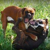 Comment séparer deux chiens qui se battent ?