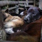 70 000 chiens abattus à Bali et servis aux touristes sans qu'ils le sachent