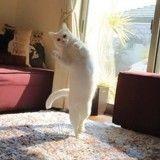 Quand son maître n'est pas là… ce chat «danse» tel un petit rat de l'opéra !