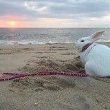 Issu d'un sauvetage, ce lapin passe aujourd'hui des vacances de rêve à la plage