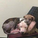 Quand des chiots pitbulls miraculés s'apportent du réconfort