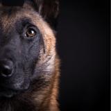 """""""J'ai décidé de travailler dans une brigade cynophile par passion pour les chiens » : un policier raconte son quotidien avec son Malinois"""