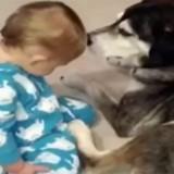 Le bébé s'endort et s'effondre sur le chien : sa réaction laisse tout le monde sans voix