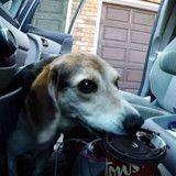 Visiblement assoiffé, ce Beagle est prêt à tout pour une tasse de café (Vidéo du jour)