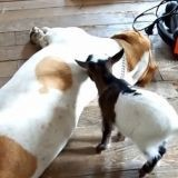 Le Beagle très patient et le bébé chèvre surexcité (Vidéo du jour)