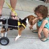 Retiré d'un élevage, ce Beagle handicapé roule désormais des mécaniques