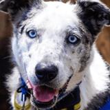 Incendies en Australie : ce chien héros sauve les koalas prisonniers des flammes