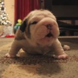 Le bébé Bulldog qui apprenait à marcher (Vidéo du jour)