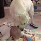 Le bébé joue sur son tapis d'éveil, le Labrador s'approche et fait une chose qui émeut tout le monde (vidéo)
