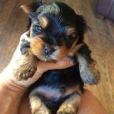 Le combat de Belle, qui pourrait bien être le plus petit chien du monde