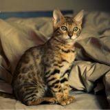Puce électronique : un chat retrouvé à 500 km de chez lui
