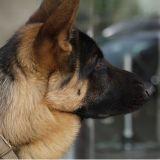 Les chiens capables de détecter des cancers avec une précision presque parfaite