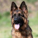 Aux Etats-Unis, le premier chien testé positif au Covid-19 est mort