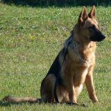 Des chiens de sécurité maltraités secourus à Saint-Denis