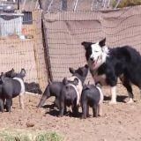 Quand des chiens de berger babysittent des... porcelets ! (Vidéo du jour)