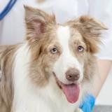 Qu'est-ce que la mutation génétique MDR1, et comment protéger mon chien s'il est à risque ?