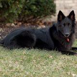 Un chien gendarme reçoit la médaille de la Défense nationale (Vidéo)
