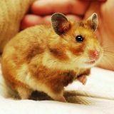 Comment bien s'occuper de son hamster ?
