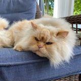 Ce chat a trouvé une méthode infaillible pour faire comprendre à sa maîtresse qu'il veut des friandises (Vidéo)