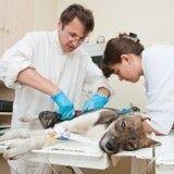 Comment différencier les blessures accidentelles des sévices chez l'animal de compagnie ?