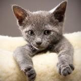 20 chatons tous mignons qui vont vous faire voir la vie en Bleu russe