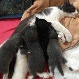 Cette chatte polydactyle a donné naissance à 6 chatons avec la même particularité