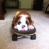 15 photos qui prouvent que Blox est le Bulldog anglais le plus charismatique du Web