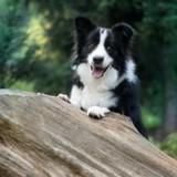 5 magnifiques races de chiens au pelage noir et blanc
