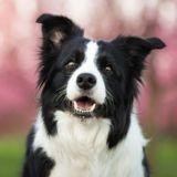 Les 10 races de chiens les plus obéissantes