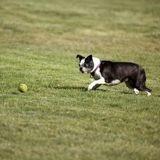 Ce Boston Terrier ne comprend vraiment pas pourquoi sa balle de tennis préférée refuse de bouger (Vidéo)