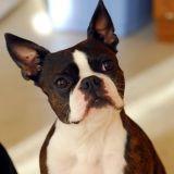 Terrier de Boston : tout savoir sur cette race de chien