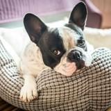Je veux un chien et j'habite en appartement : quelle race choisir ?