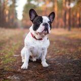 Halte aux chiens hypertypes : il faut sauver le Bouledogue français !
