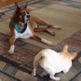 Le Bulldog excité et le Boxer impassible (Vidéo du jour)