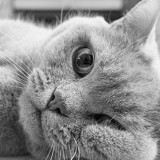 Les 10 plus beaux British Shorthair en photos !